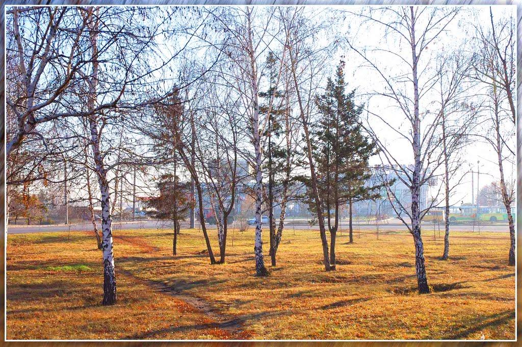 Берёзки возле речного вокзала. Birches near river station., Барнаул