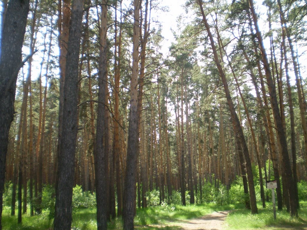 Tape Pine Forest, Тюменцево