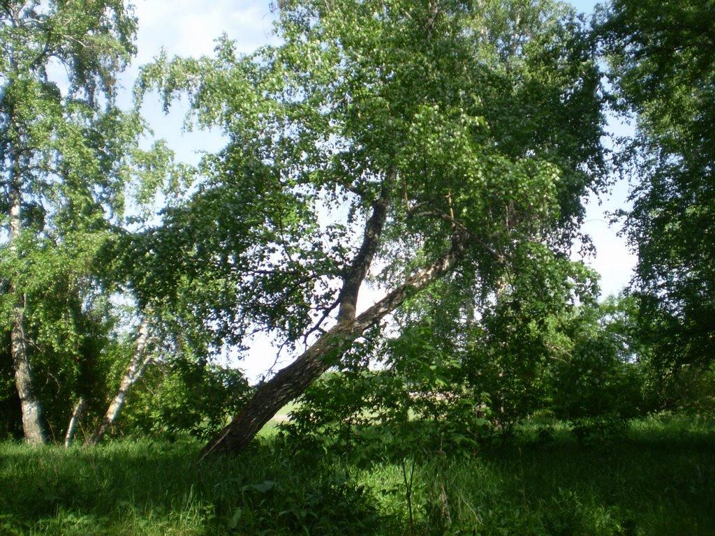 Birch, Тюменцево
