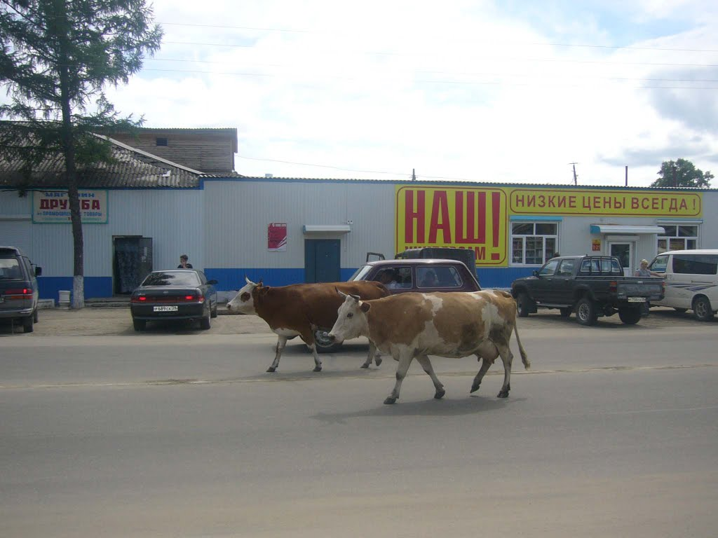 Заблудившиеся коровы, Шимановск