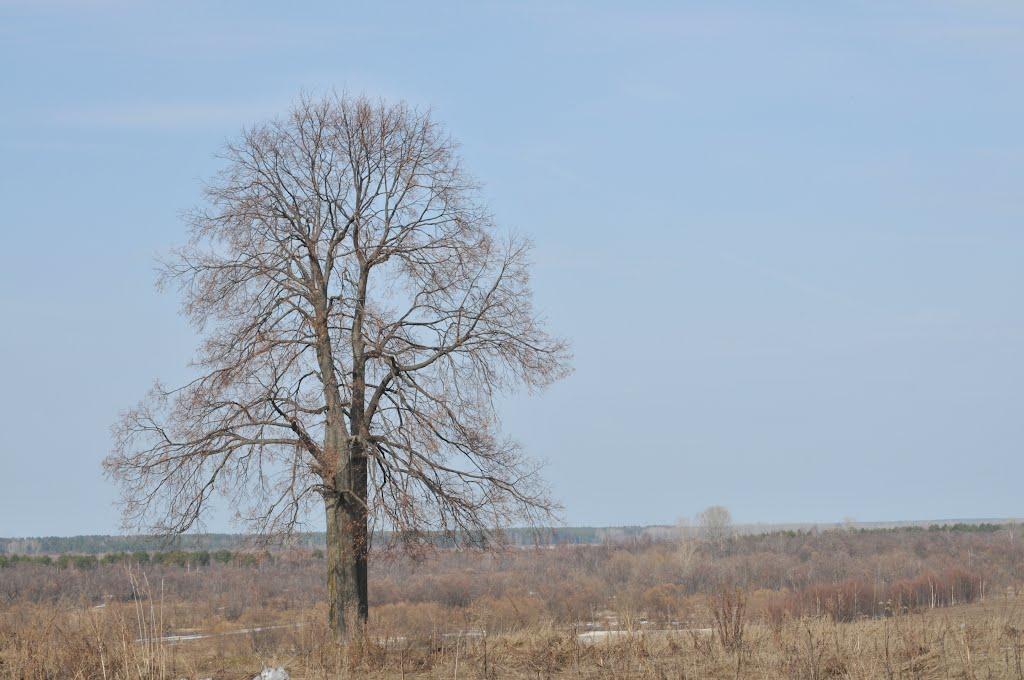Дерево, Коряжма