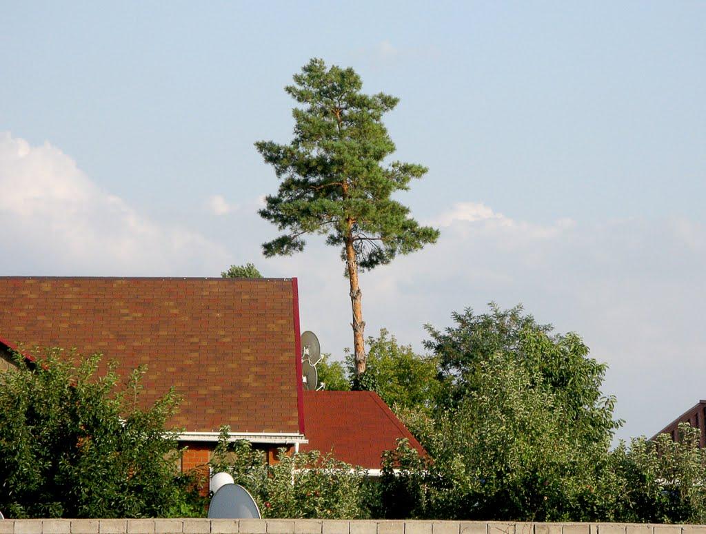 Сосна на крыше :), Ахтубинск
