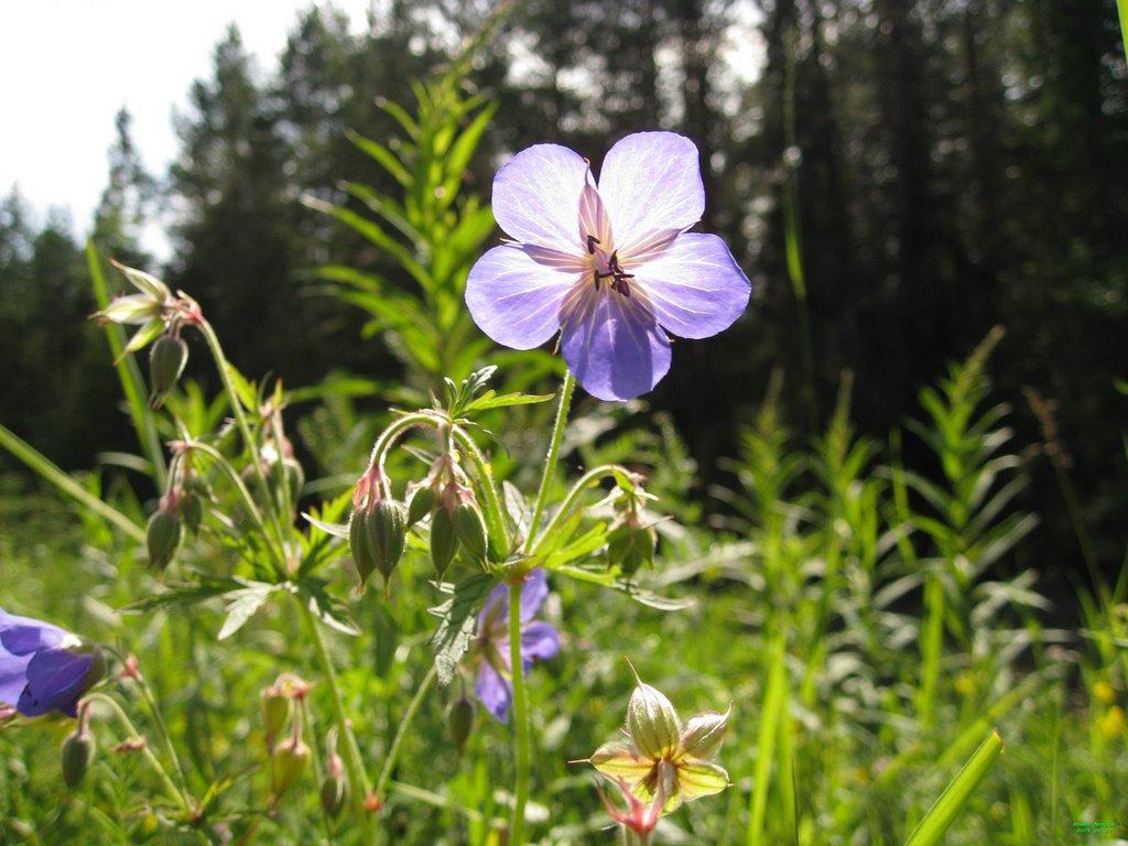 Цветок, Троицко-Печерск