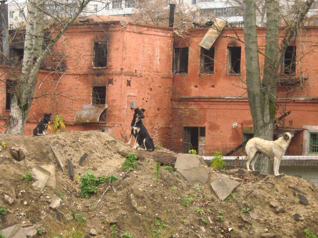 Последние дни дома ул.Володарского, 101. Семья собак на фоне того, что осталось от исторического здания. Фото сделано 11.10.2008. Сейчас этого здания уже нет., Орехово-Зуево