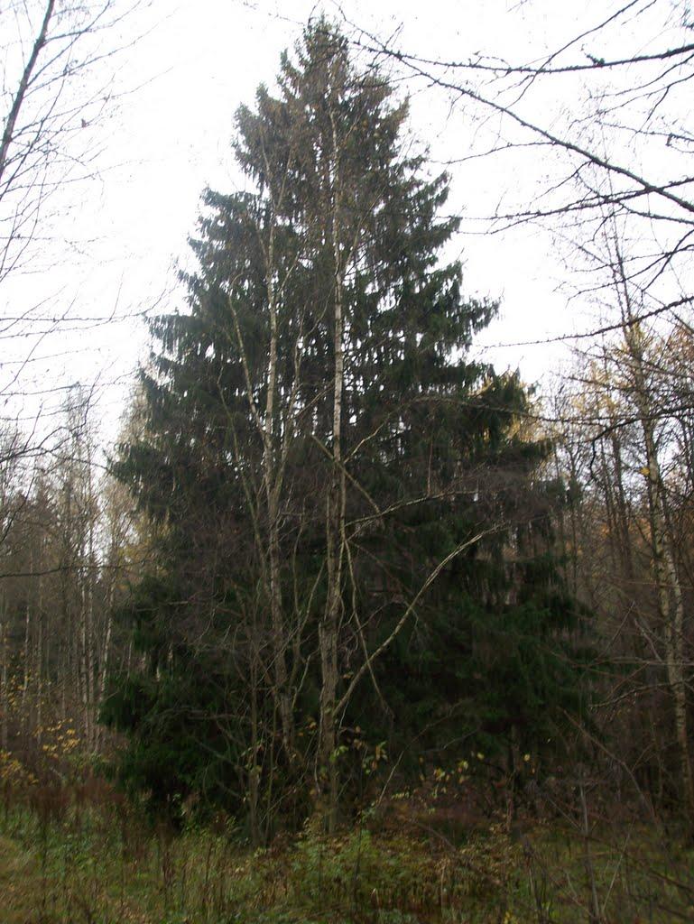 Ёлка в Химкинском лесу, Старбеево