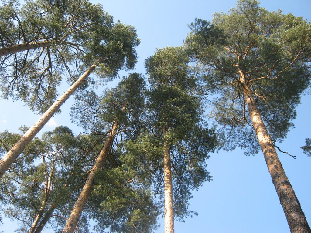 деревья, Вырица