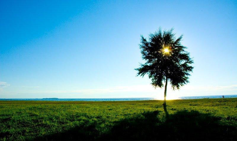 Tree ashore, Сестрорецк