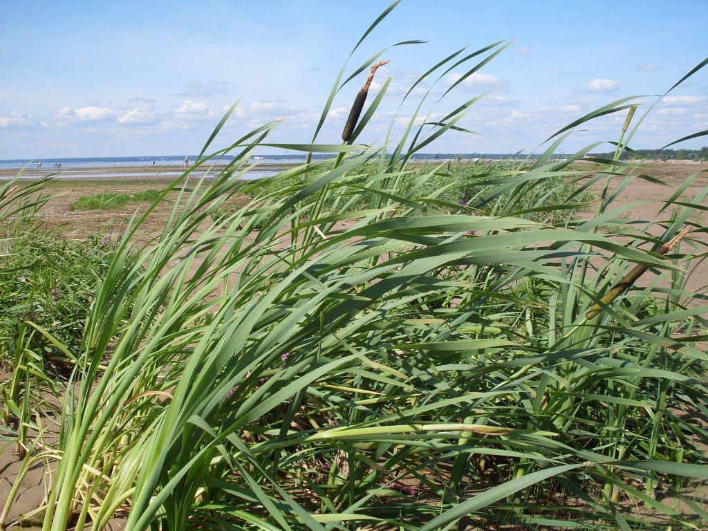 Seaside and grass., Сестрорецк