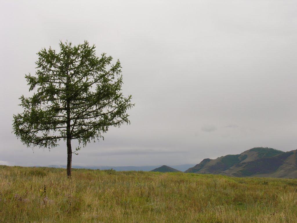 Larch near Turan, Суть-Холь