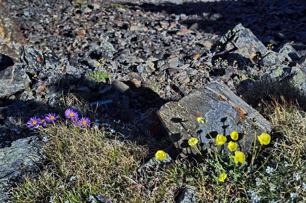 alpine flowers - Altai mts., Russia, Тээли
