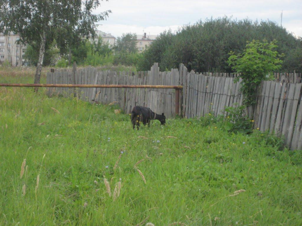коза, Еманжелинск