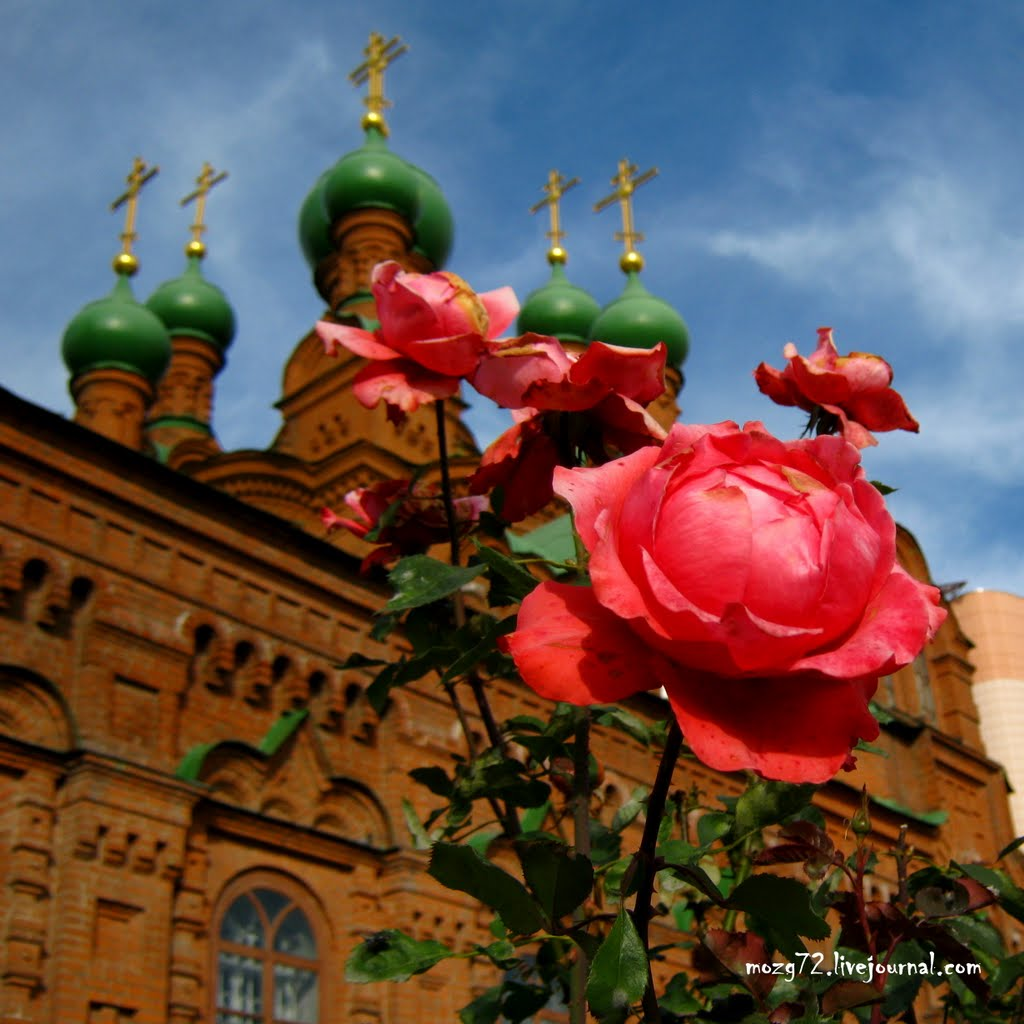 ...Алая Роза Осени / Scarlet Rose of Autumn, Челябинск