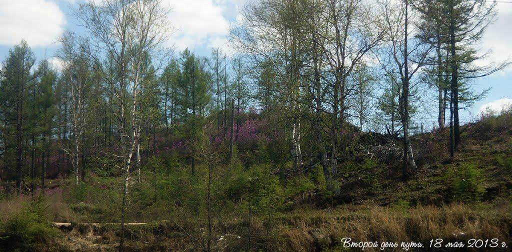 Забайкальский край, цветёт багульник / Zabaykalsky Krai, blossoms a Labrador tea, Амазар