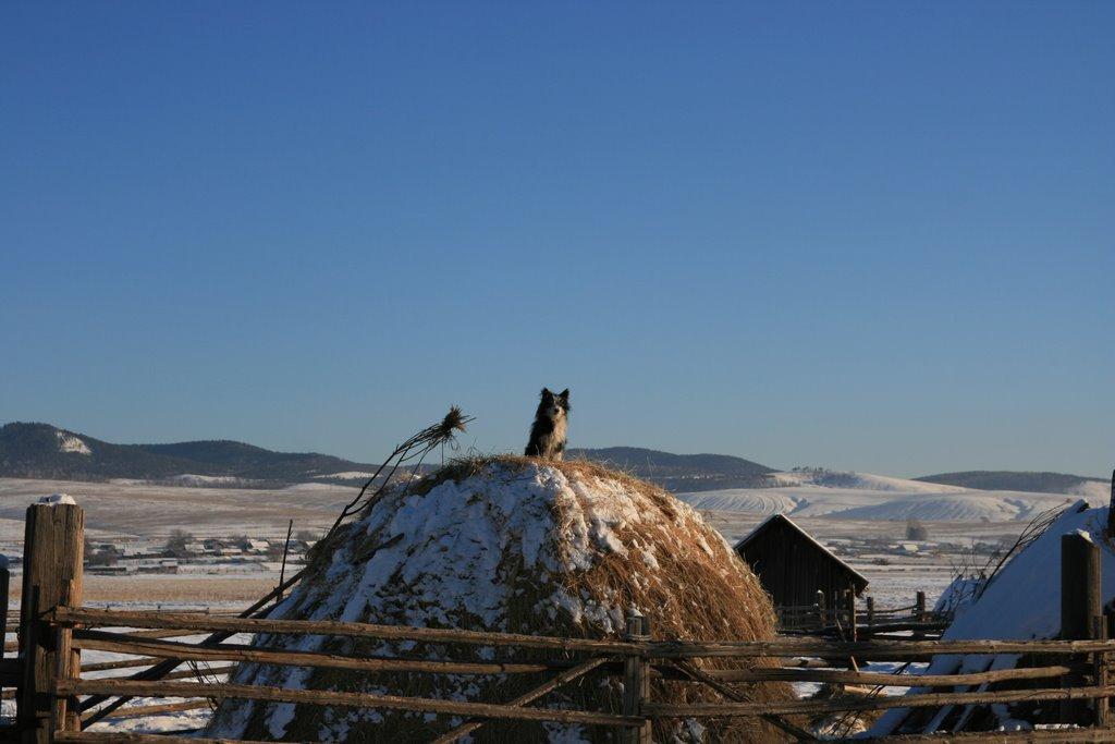 Pomontoire sibérien pour un canidé, Жиндо
