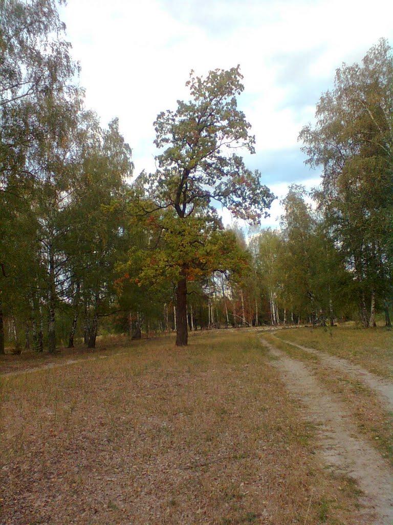 При дороге одиноко   Дуб растет тысячелетний,   На траве зеленой стоя,   До земли склоняя ветви....., Киря