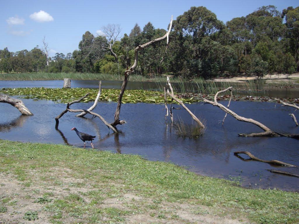 Traralgon wetland reserve, Траралгон