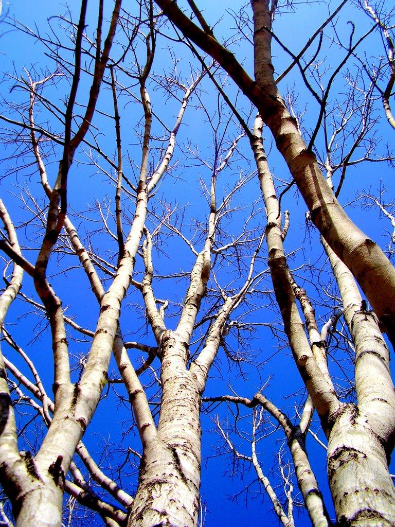 Trees, Аубурн