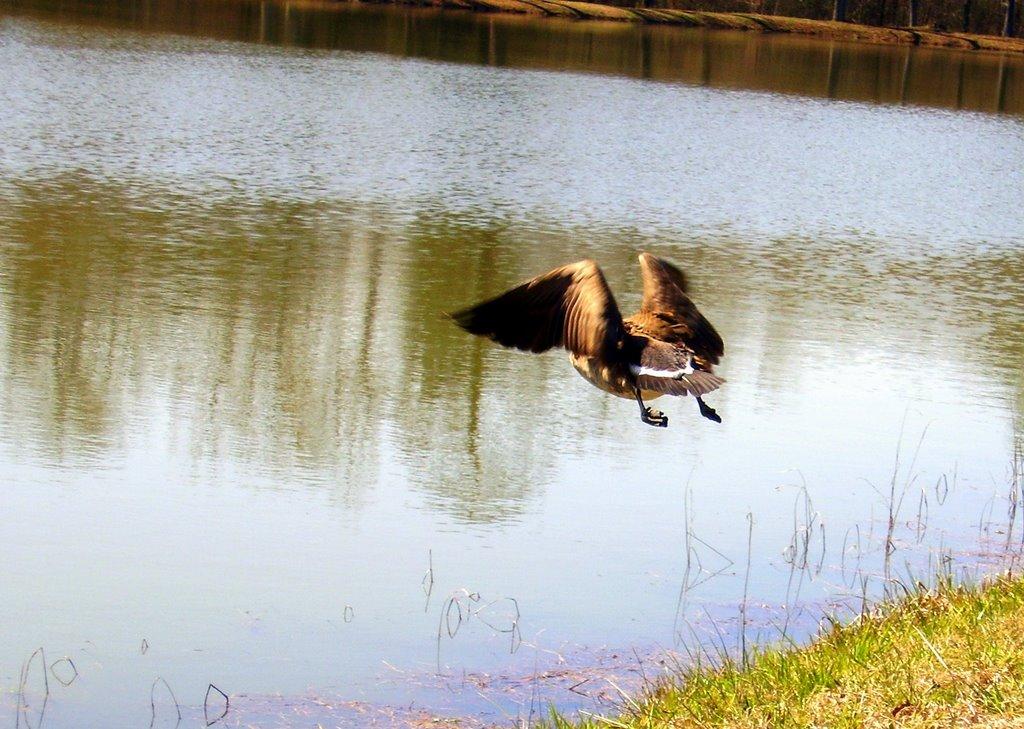 Goose in flight, Ваверли