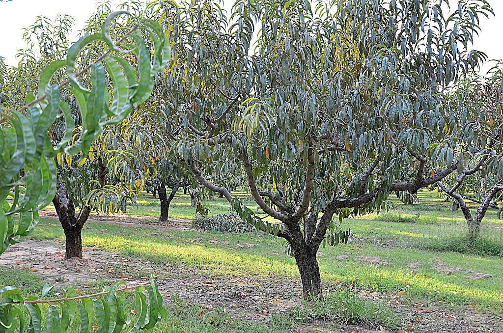 Chilton County Peach Orchard, Гурли