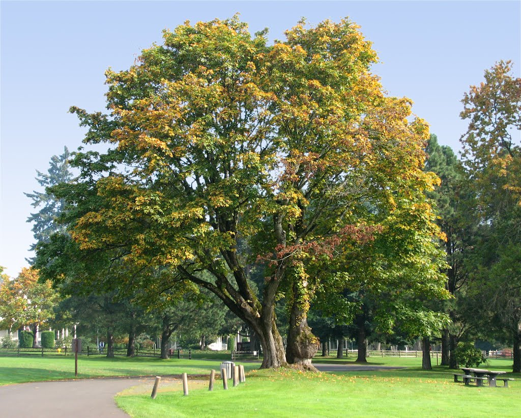Big Tree, Fort Vancouver, Vancouver, Washington, Ванкувер