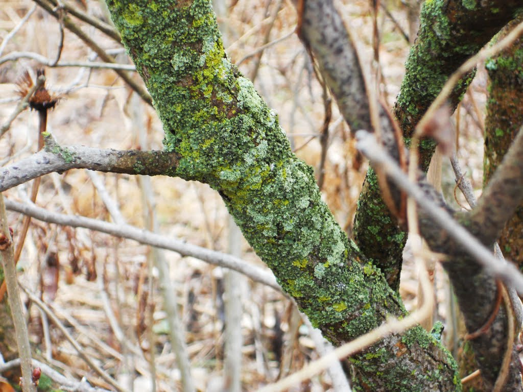 Lichen Growing on Lilac Bush, Андерсон