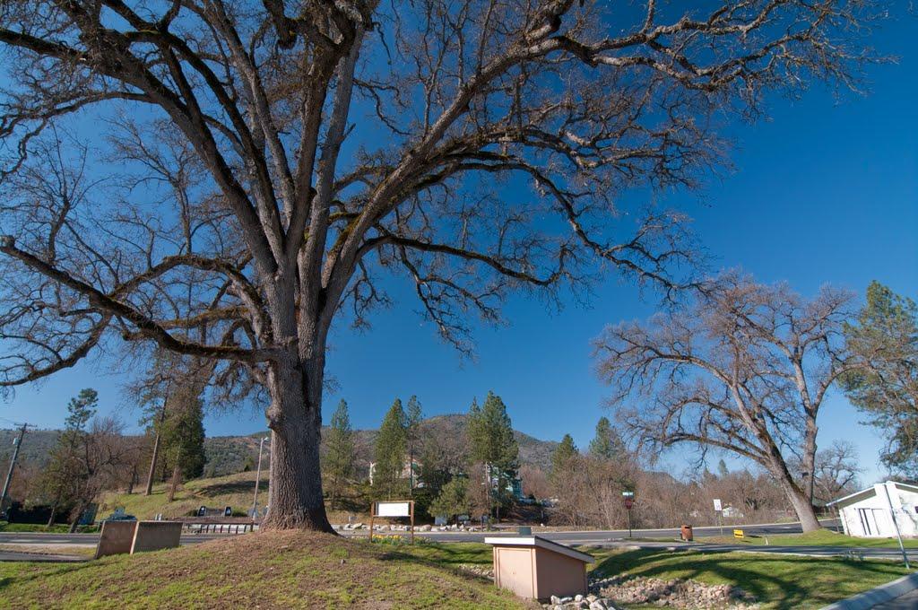 One of many Oak Trees in Oakhurst, 3/2011, Ашланд