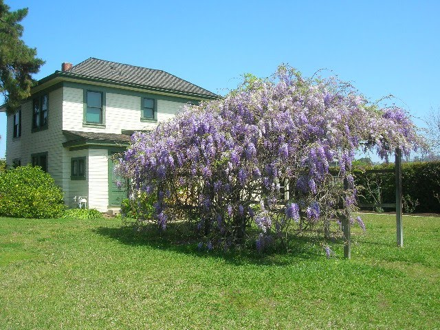 La Mesa Historical Society Mckinnley House Wisteria in Bloom, Ла-Меса