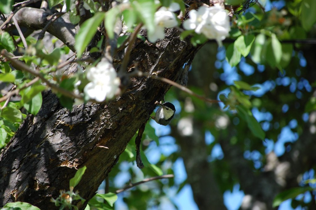 Nuthatch in blooming Apple tree, Плисант-Хилл