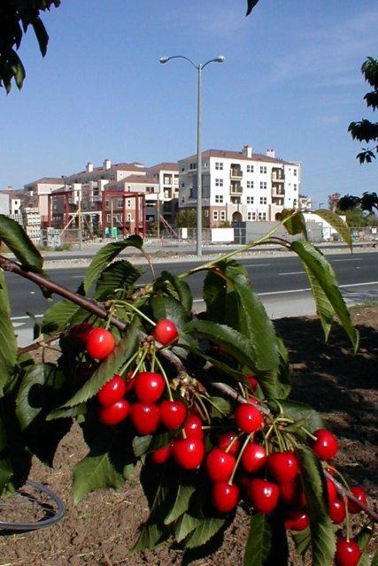 Cherry Orchard, Саннивейл