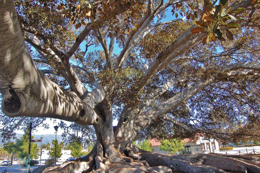 Santa Barabara Morton Fig tree 5, Санта-Барбара