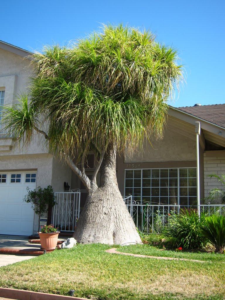 What a Trunk on that Tree, Серритос