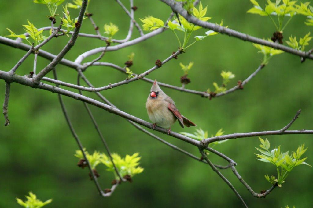 Northern Cardinal - Female, Валлингфорд