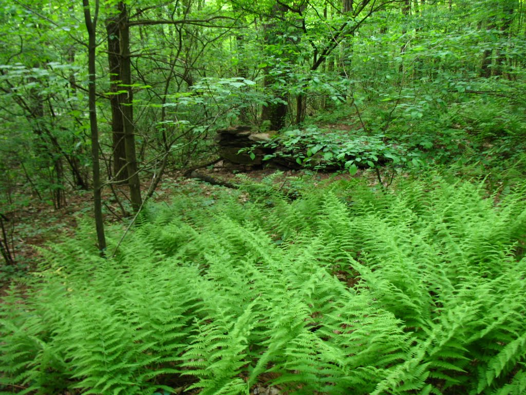 Fern forest on the Mattabesett Trail E of Lamentation Mtn. - May 23 2010, Валлингфорд