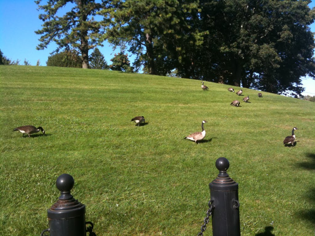 Nice summer afternoon, with geese in Natick Labs., Натик