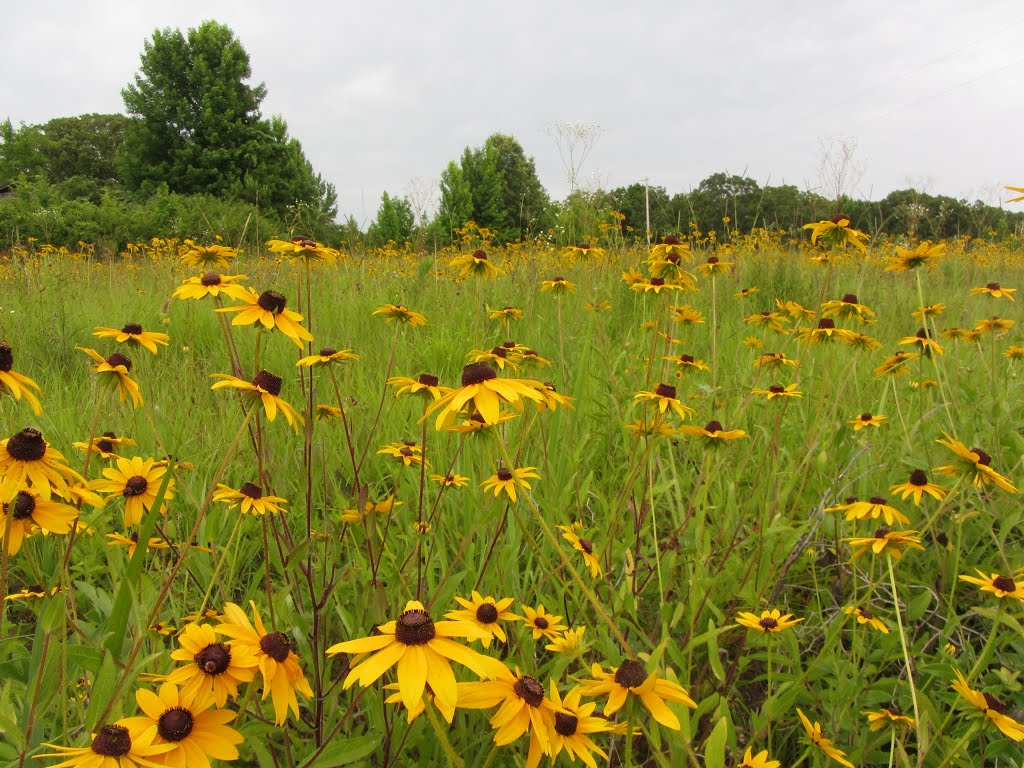 Black-eyed Susans, МкКул