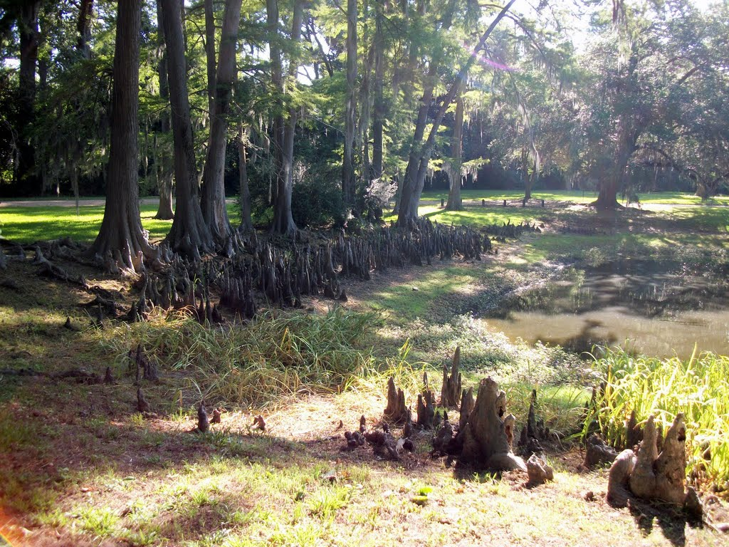 Cypress Knees on the grounds of the Melrose Mansion in Natchez, MS, Натчес