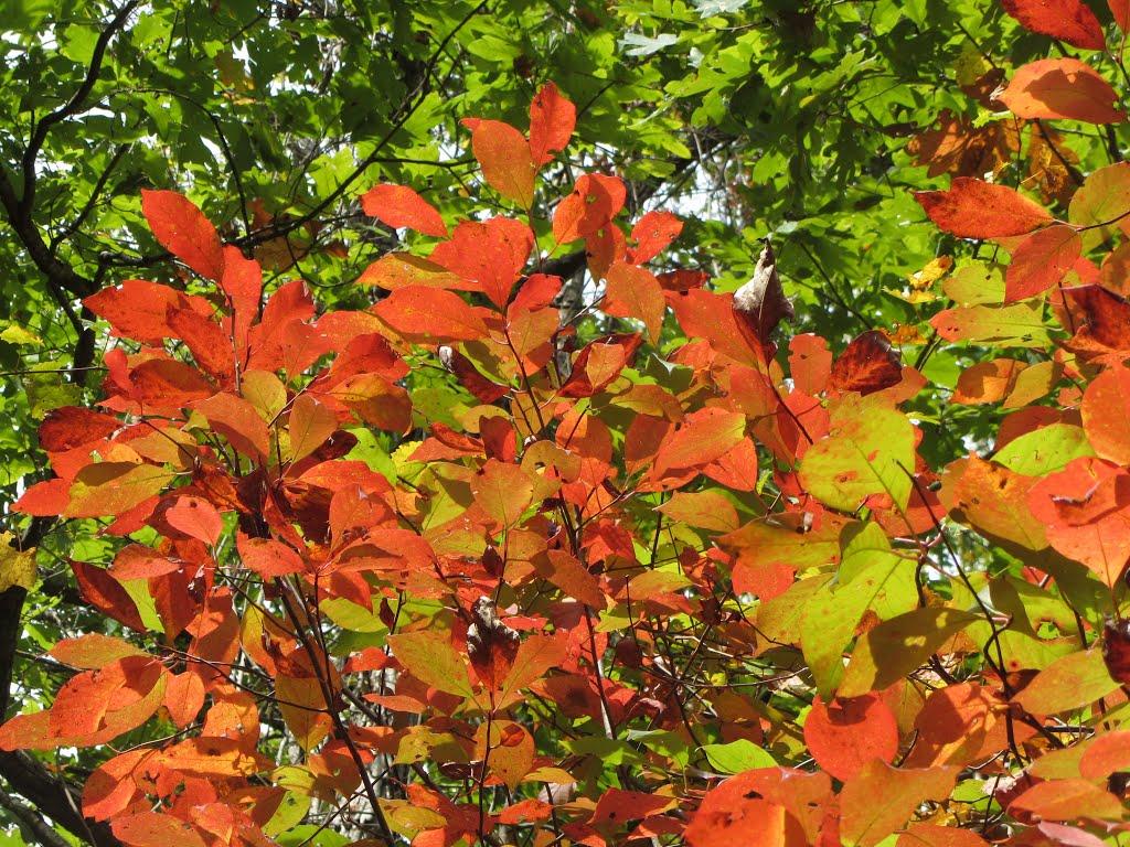Sourwood leaves, Сумнер