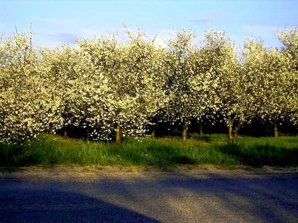 cherry trees, Вэйкфилд