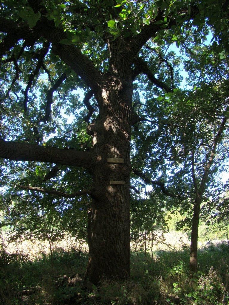 Giant Bur Oak, Рока
