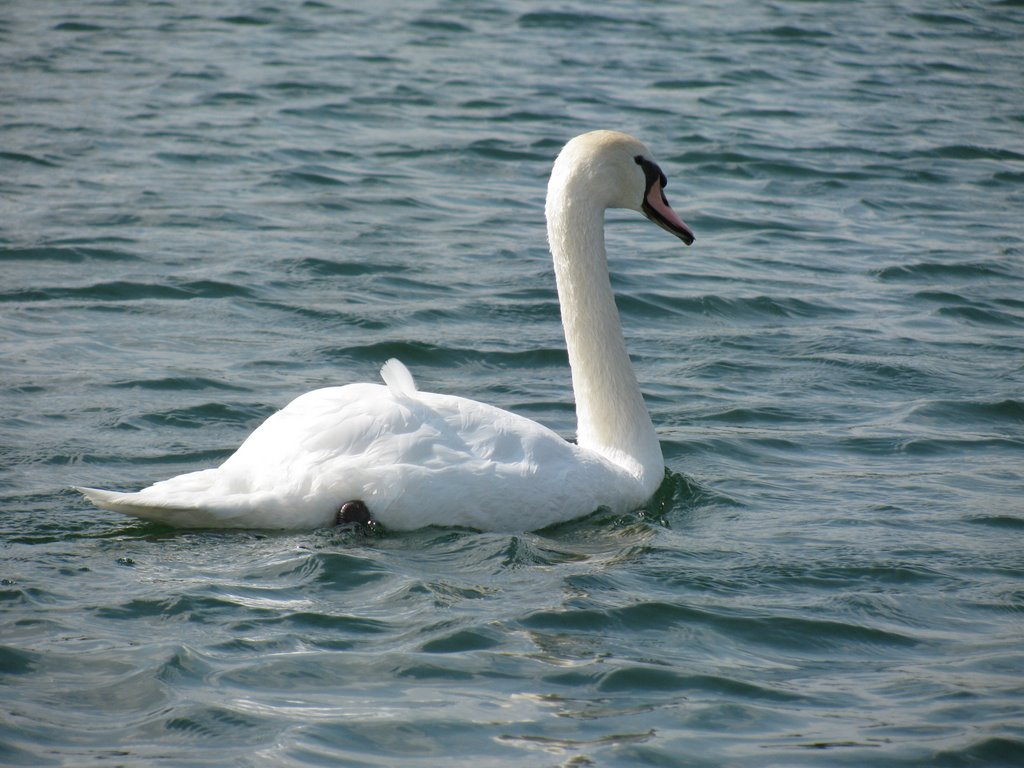 Floating Swan, Хастингс