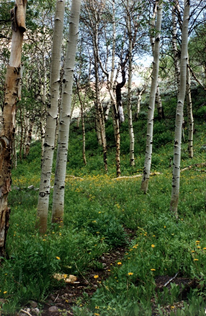 Aspens below Mt. Jefferson, Ловелок