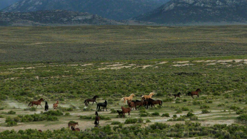 Wild horses near Shamrock Spring at north end of Monitor Range, Эврика