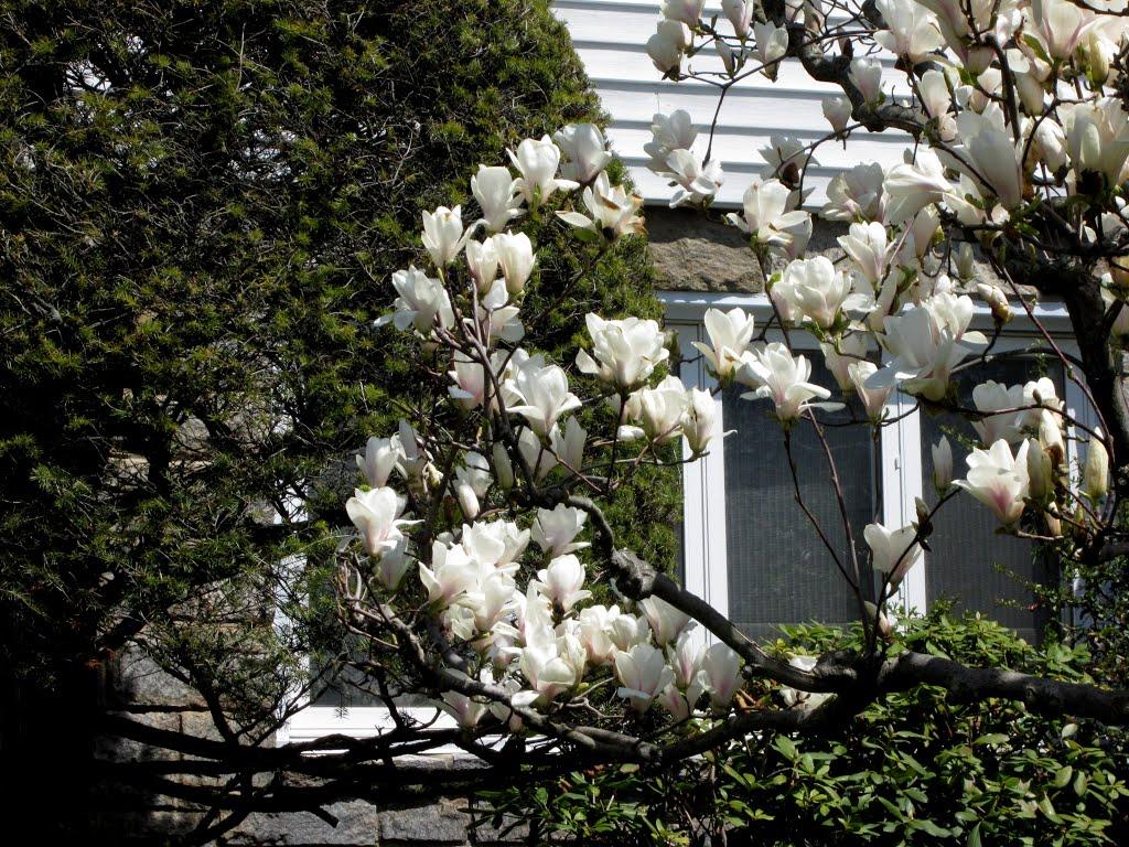 Spring, White  Magnolia, Лауренс