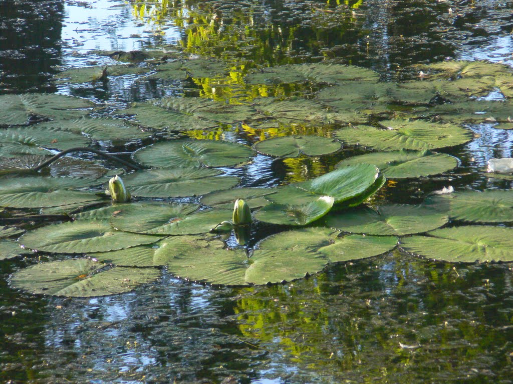 Water lilies, Brackenridge Park San Antonio River Texas, Олмос-Парк