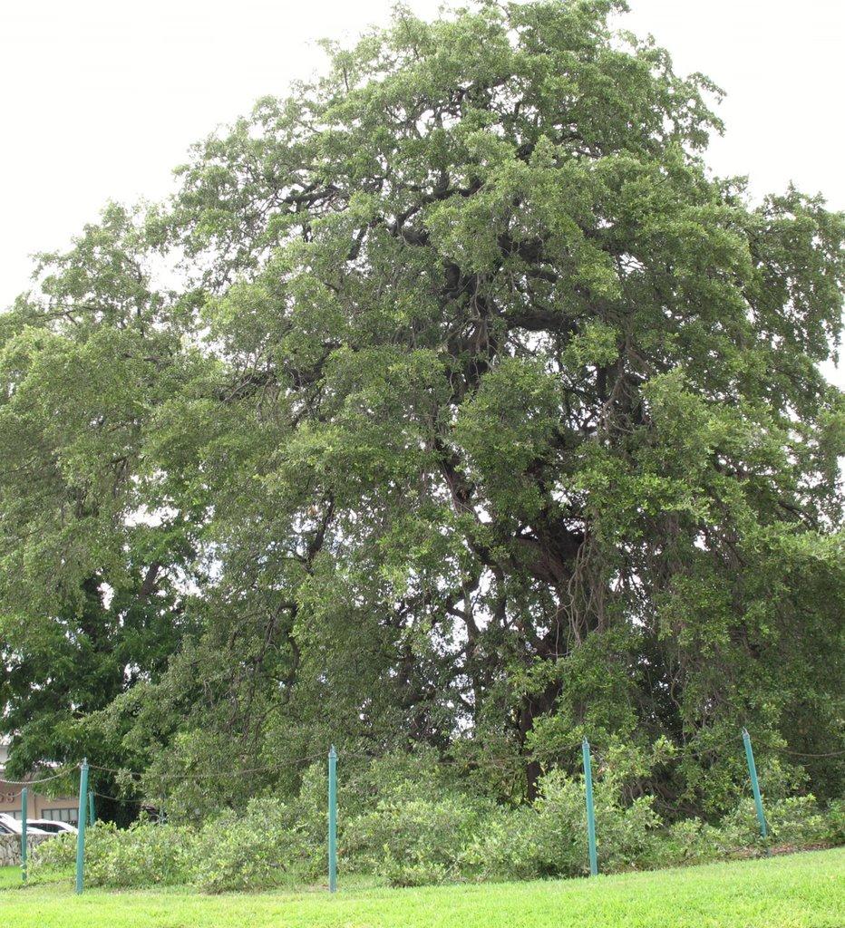 Austin-Treaty Oak, Остин