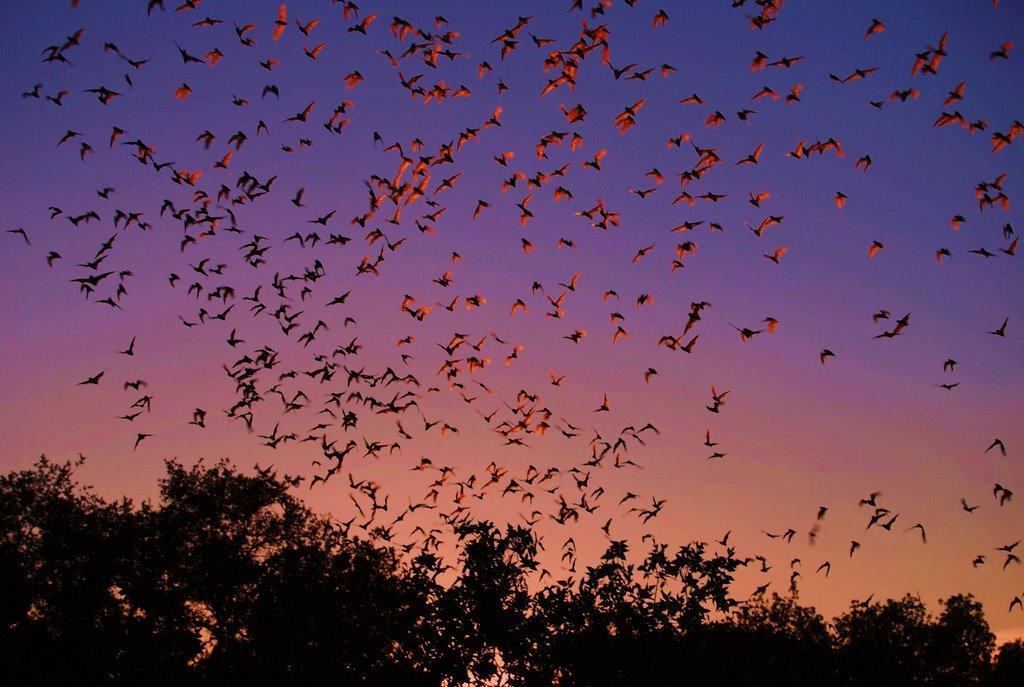 Bat flight, Bracken Cave., Пирсалл