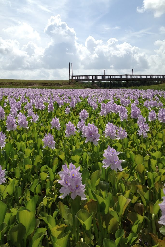 water hyacinths, Сагинау