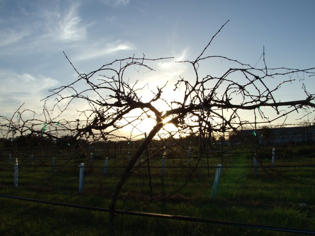 Through the Vines, Айвес-Эстейтс
