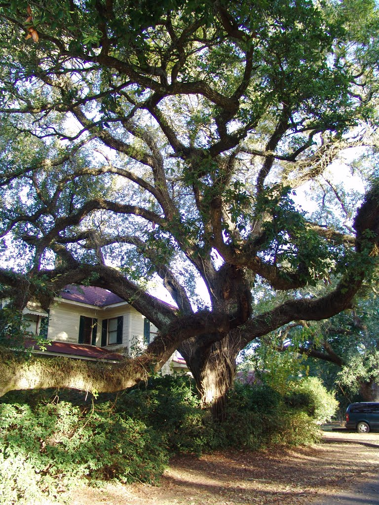 massive Live Oak tree, historic Apalachicola Florida (11-26-2011), Апалачикола