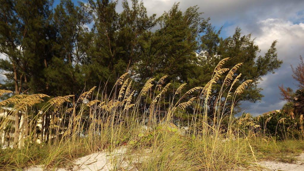 Sea oats, Индиан-Рокс-Бич